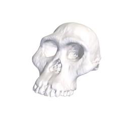 Paleontology skull